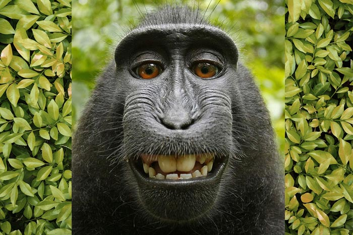 PETA's Copyright Infringement Claim Naruto-the-Ape-Selfie