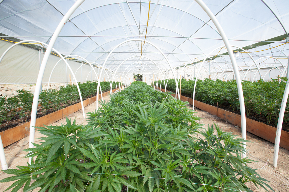 Cannabis news in New York Greenhouse growers
